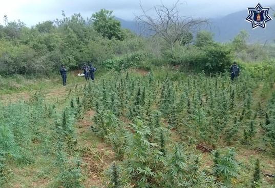 Policías estatales destruyeron dos plantíos de marihuana durante operativo