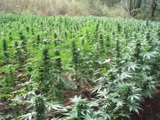 Colaboran SSPO y PGR para la destrucción de plantíos de marihuana localizados en Coatecas Altas