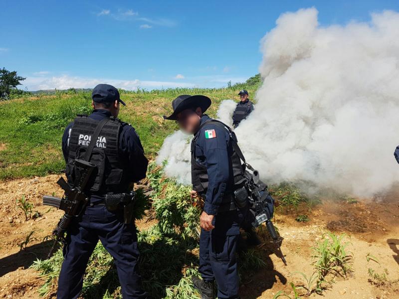 En Oaxaca, Policía Federal localiza sembradío de marihuana y destruye más de tres toneladas de enervante