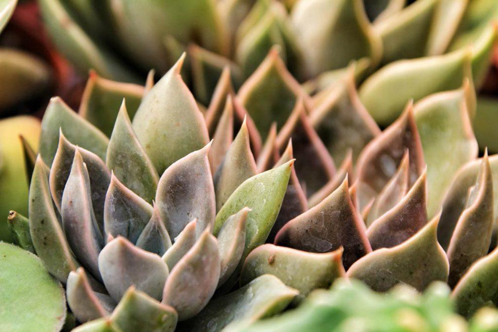 Plantas suculentas, ideales para las azoteas verdes