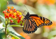 Ilumina la Monarca los bosques de México