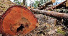 Líos agrarios limitan el combate de plagas forestales: Conafor