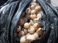 Recuperan casi 5 mil huevos de tortuga golfina en Oaxaca