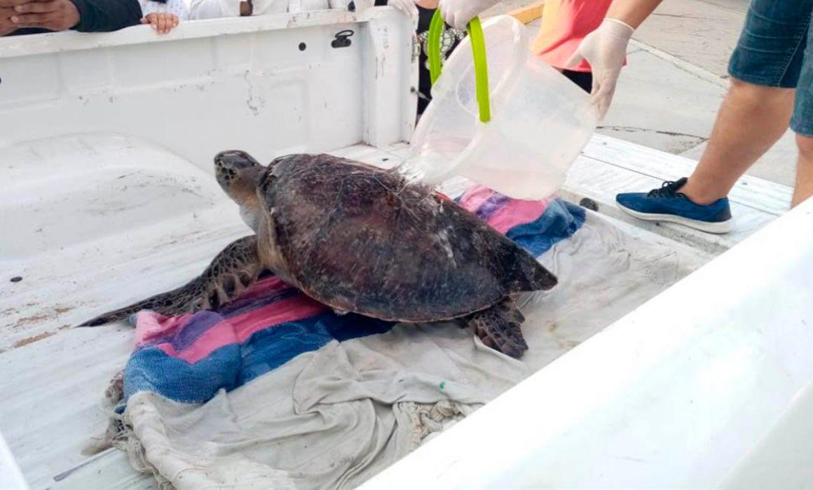 Mueren 292 tortugas por ingesta de algas tóxicas
