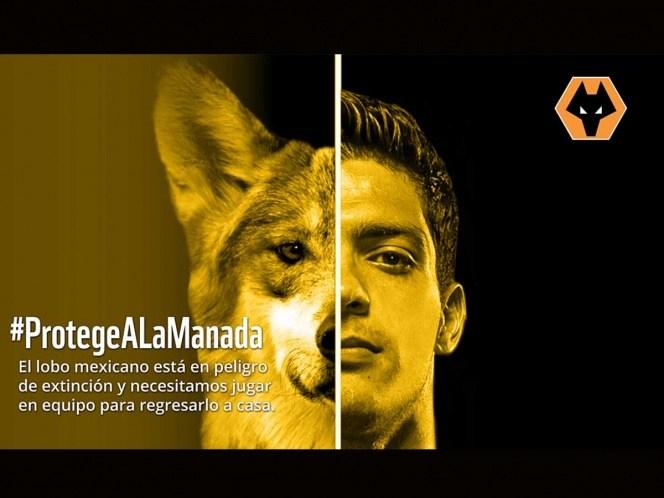 Apoya Raúl Jiménez campaña para salvar al Lobo Mexicano