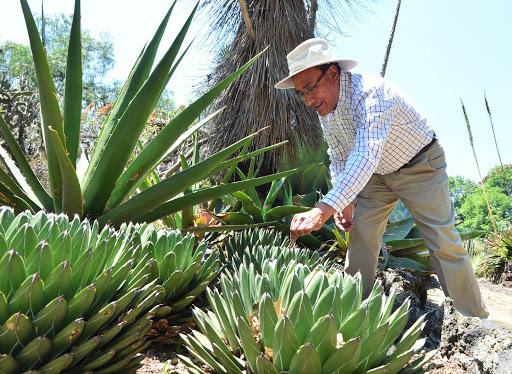 Investigan en la UNAM parentesco genético entre especies de agave
