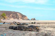 Ante pandemia, cocodrilos 'toman' playa Ventanilla