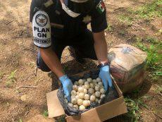 Asegura GN 1,157 huevos de tortuga en la Costa